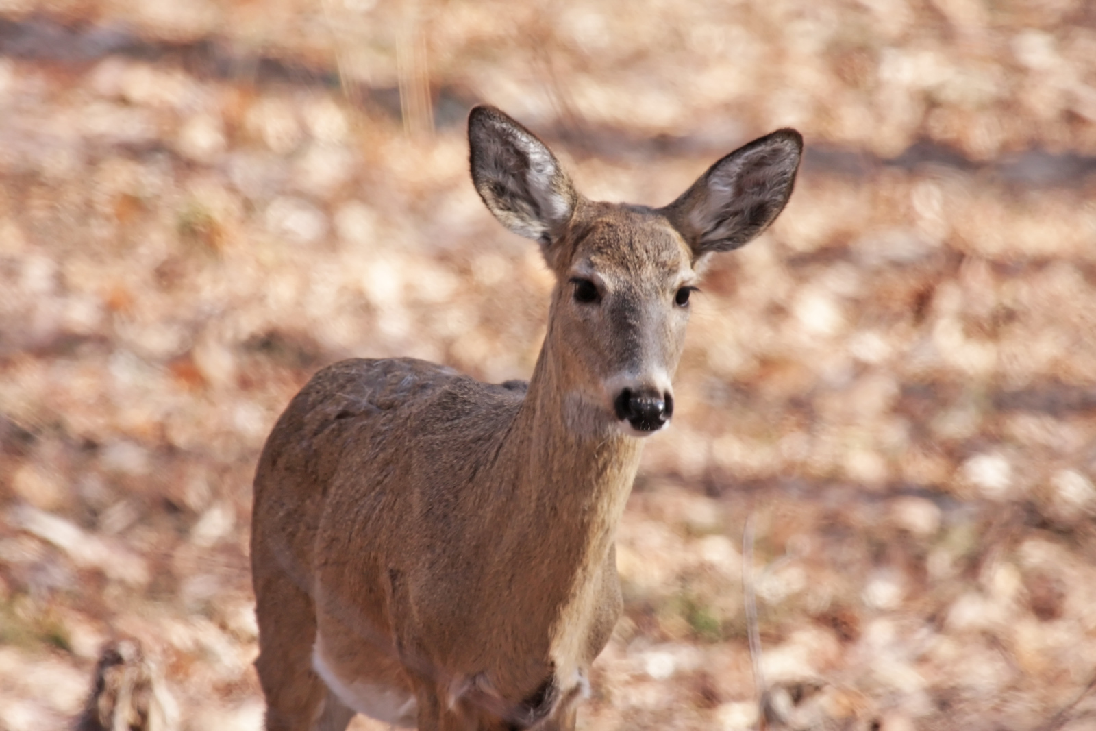 A whitetail deer standing in the woods during the springtime