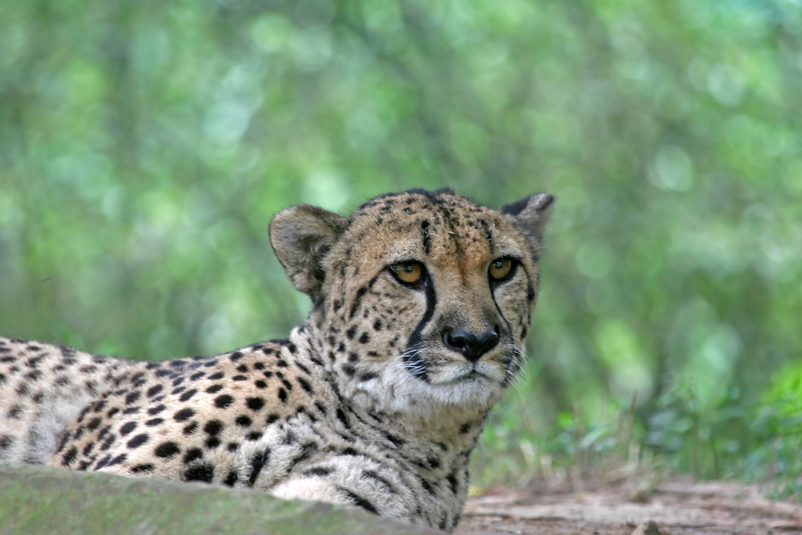 Cheetah laying down in a zoo watching alertly